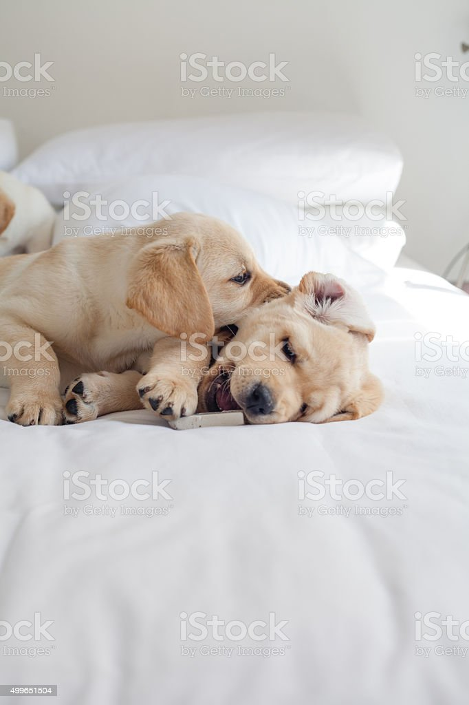 Group of Puppy Labrador Playing stock photo