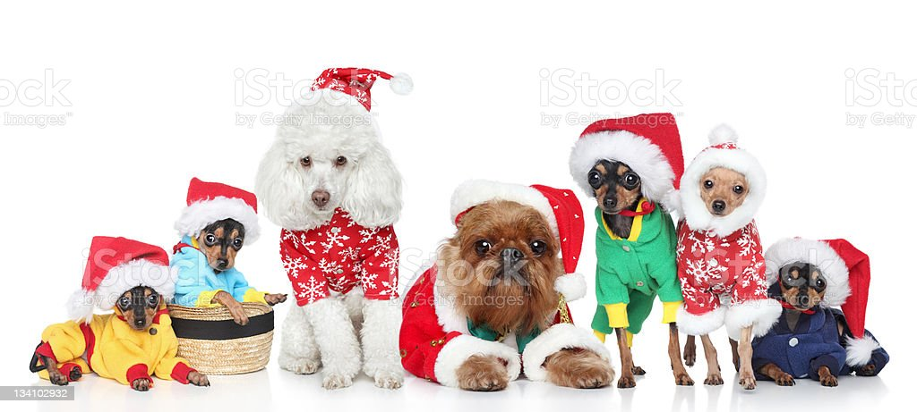 Group of purebred dogs in Christmas hats royalty-free stock photo