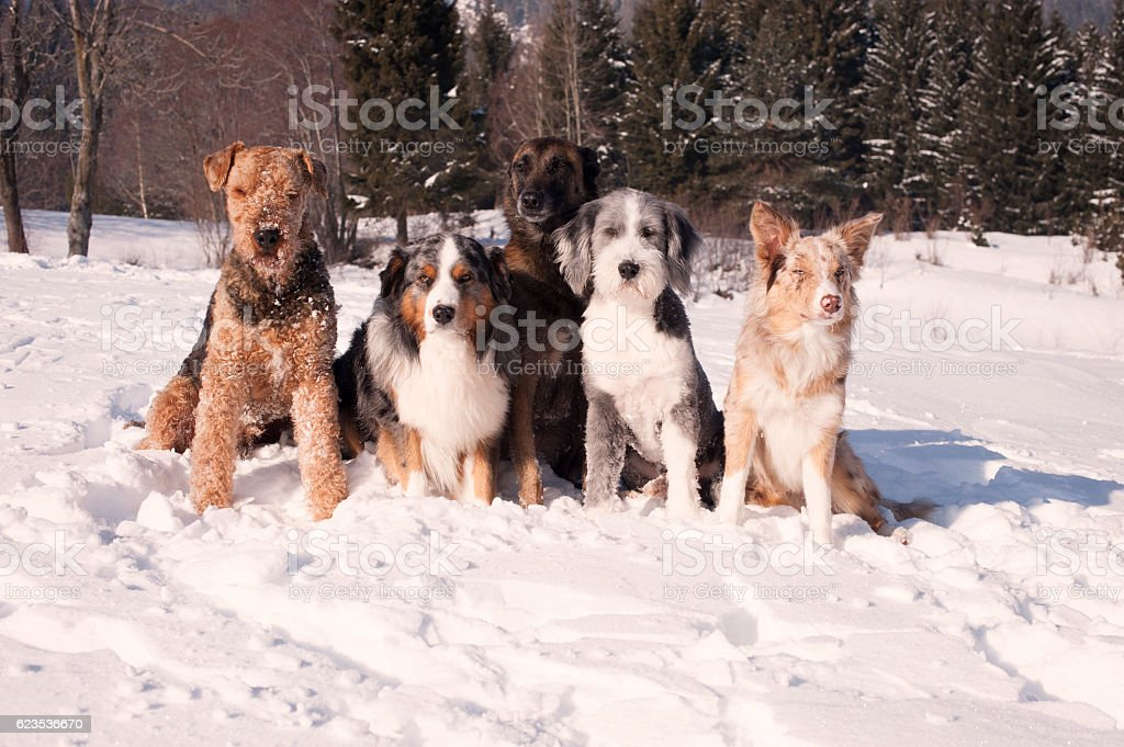 Group of purebred dogs sitting in a snow stock photo