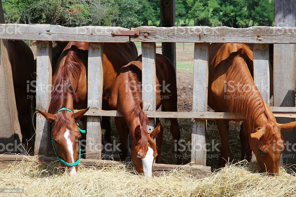 Group of purebred horses eating hay rural scene stock photo