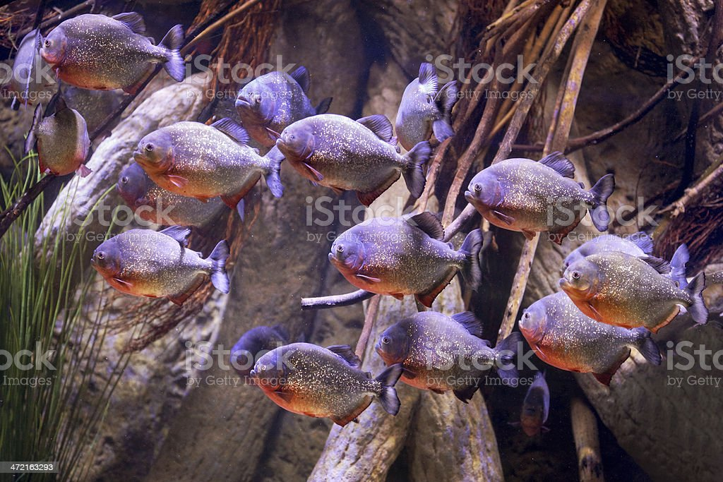 Group of purple piranhas in sea life aquarium stock photo