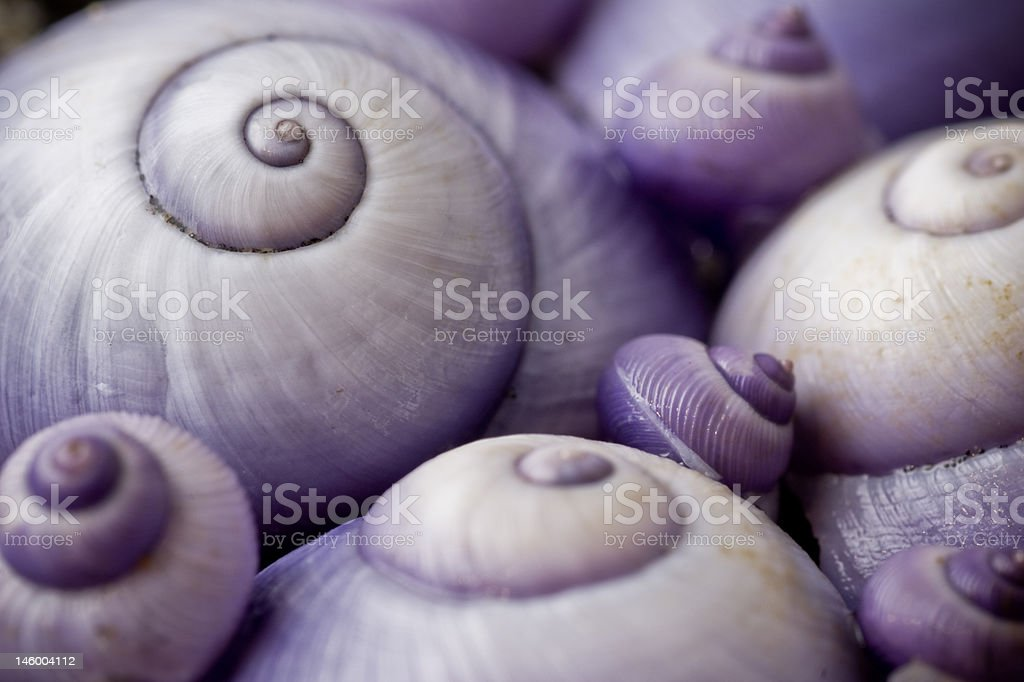 group of purple spiral shells royalty-free stock photo
