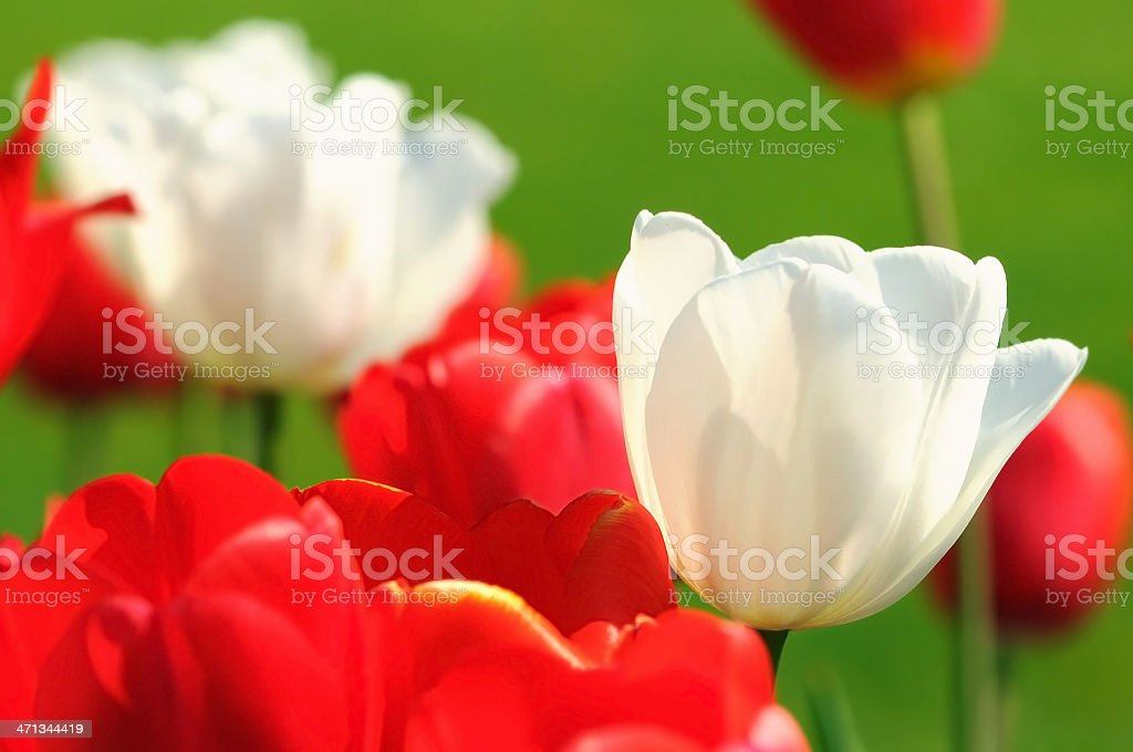 group of red and white tulips with green grass background stock photo