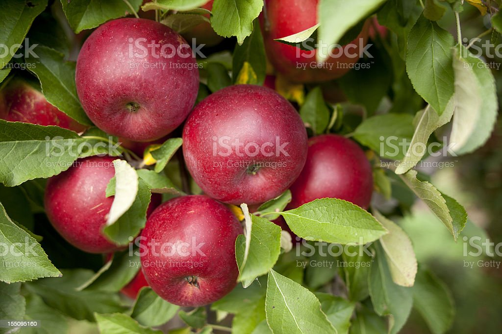 A group of red apples in a orchard stock photo