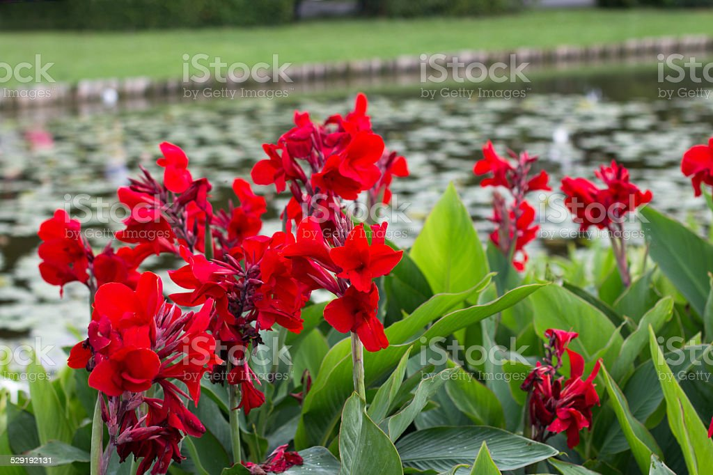 Group of red canna lily beside the river stock photo