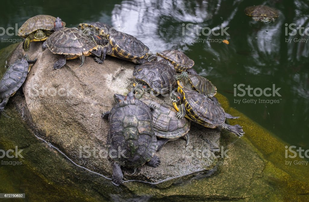 Group of Red Eared Slider Turtles On a Gray Stone In a Pond. stock photo