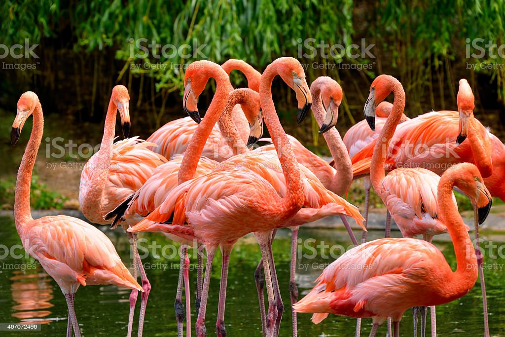 Group of red flamingos stock photo