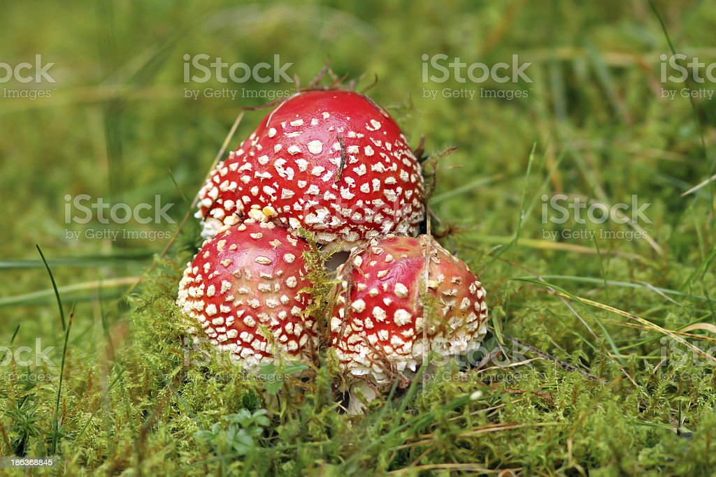 group of red fly agaric royalty-free stock photo