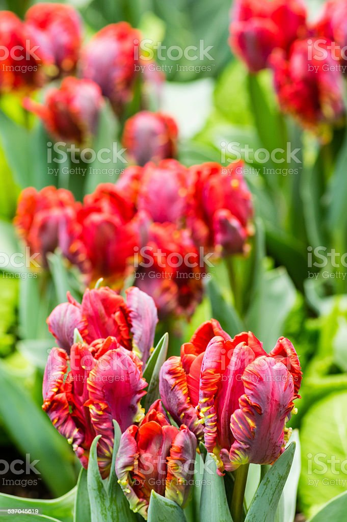 Group of red parrot tulips in bloom stock photo