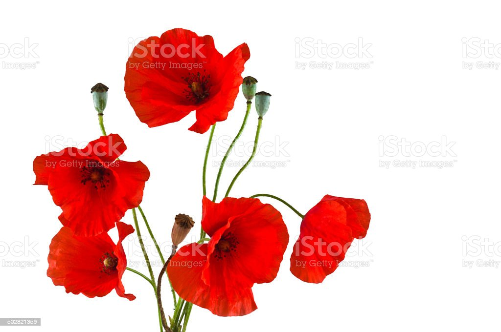 Group of red poppies on a white background stock photo