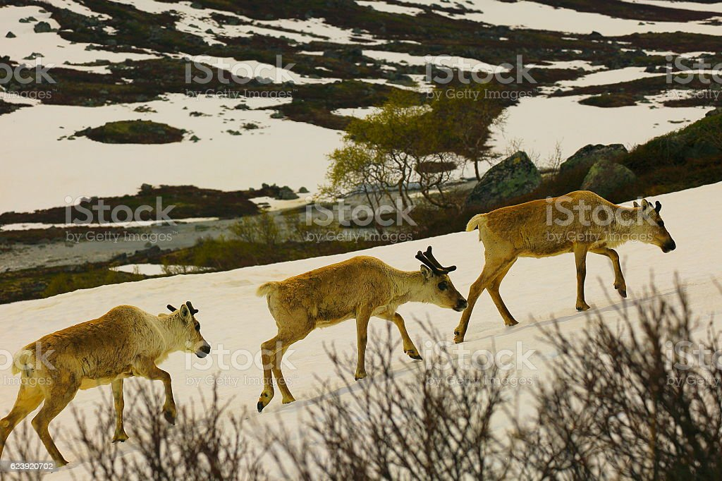 Group of Reindeers waling on Snowcapped Hardangervidda taiga, Norway, Scandinavia stock photo