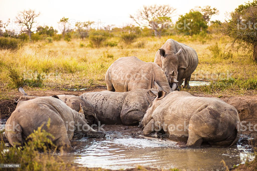 Group of rhinos in the mud royalty-free stock photo
