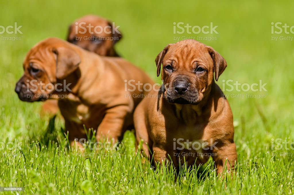 Group of Rhodesian Ridgeback puppies sitting in the grass stock photo