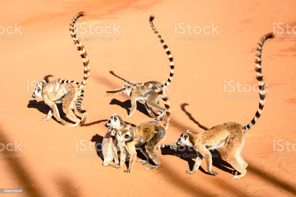 Group of ring tailed lemurs in sunny weather on red sand stock photo