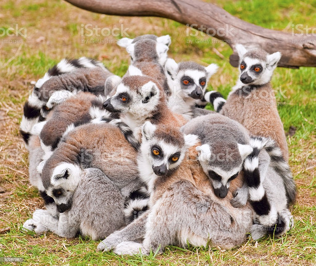 Group of Ring_Tailed Lemurs stock photo