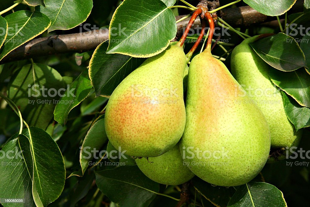 A group of ripe pears still on the tree stock photo