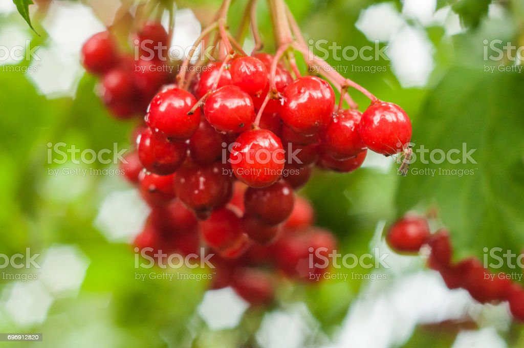 A group of ripe red arrowwood berries on the green background stock photo
