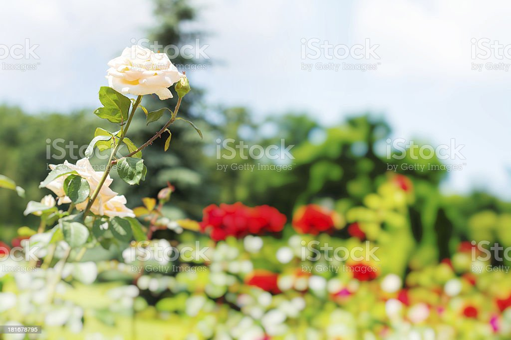 Group of roses royalty-free stock photo