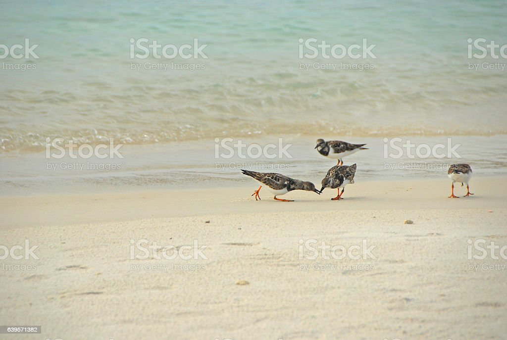 Group of Ruddy Turnstone searching for food along the coastline. stock photo