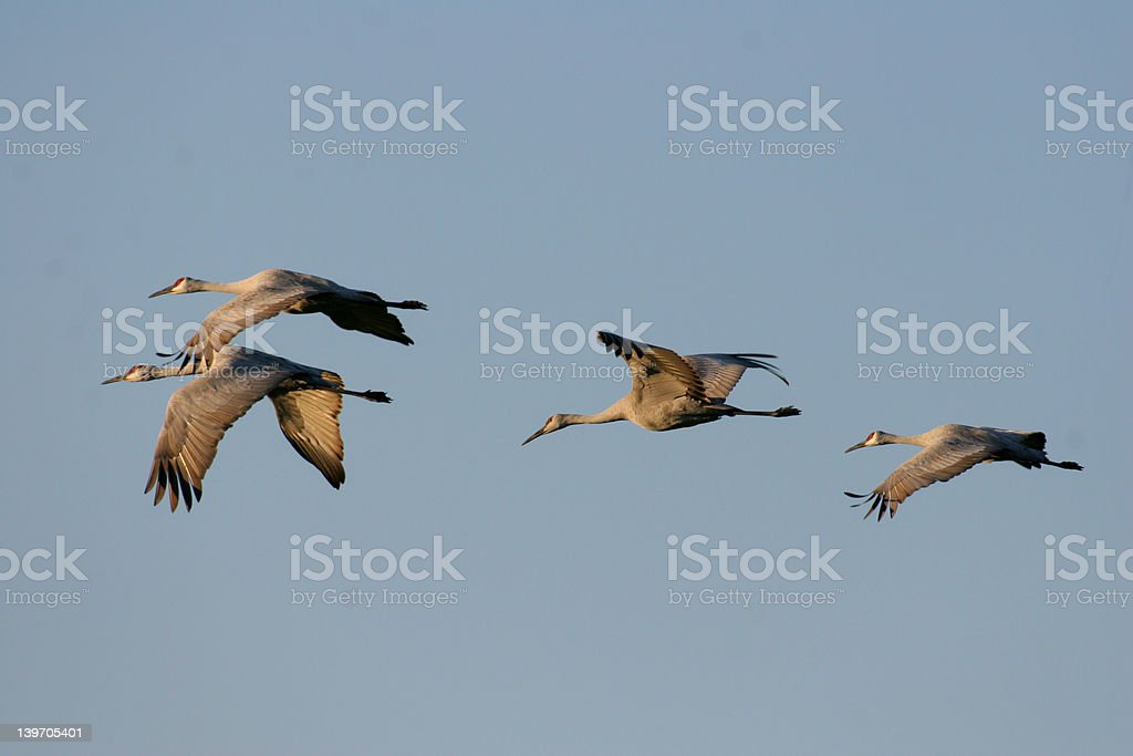 Group of sandhills flying away from camera with side lighting stock photo