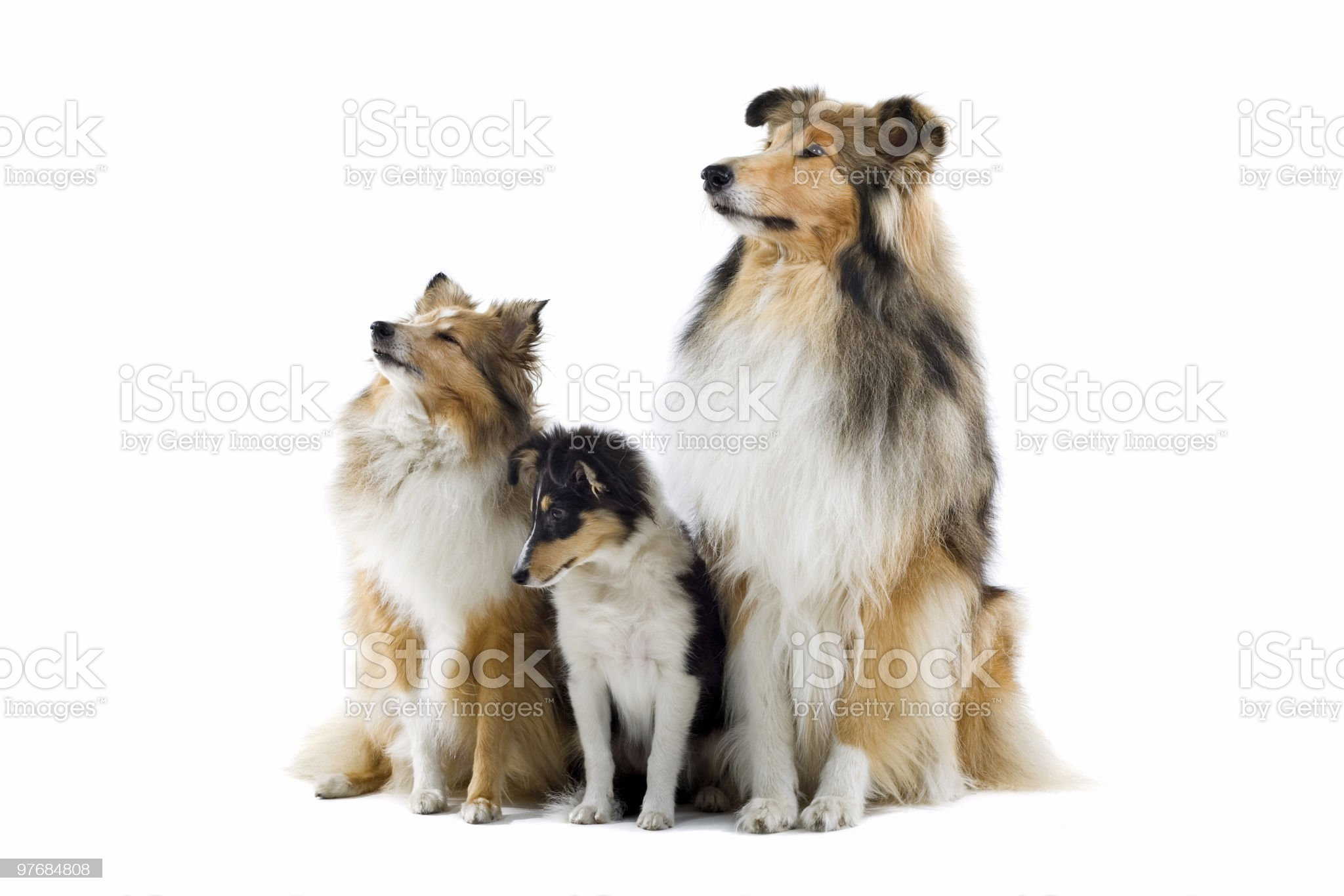 group of Scotisch collie dogs royalty-free stock photo