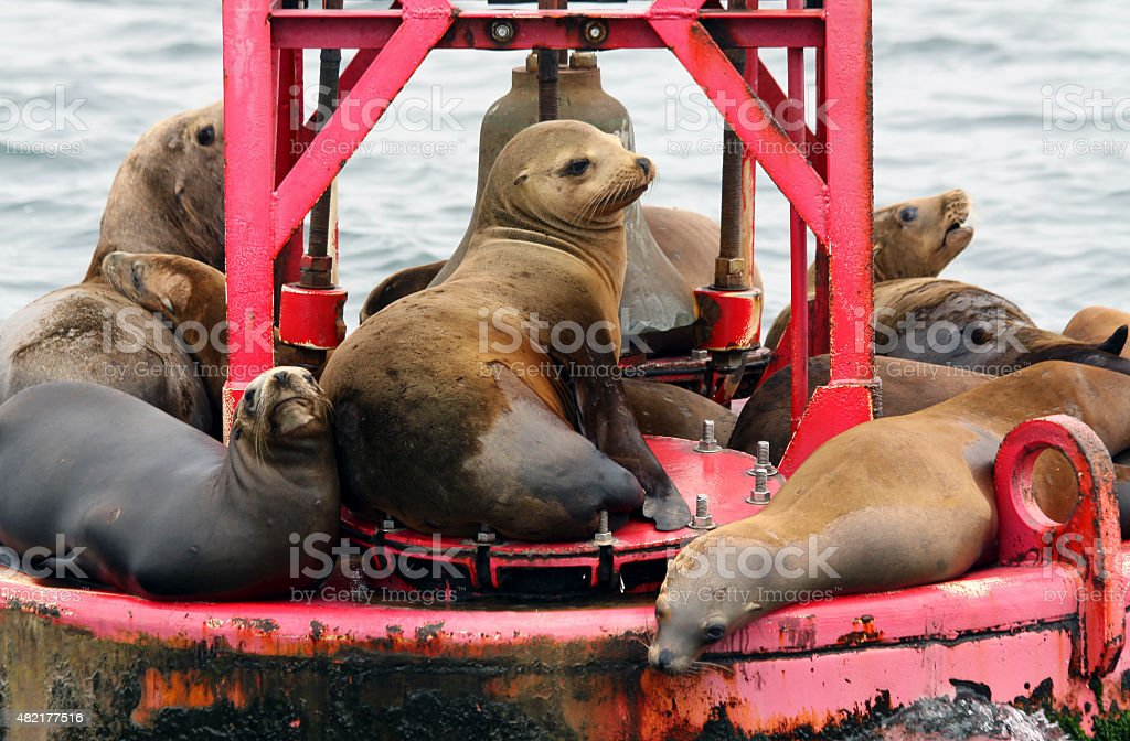 Group of sea lions on an buoy at Monterey bay stock photo