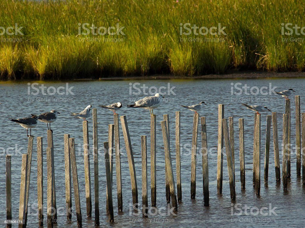 Group of seagulls standing on sticks stock photo