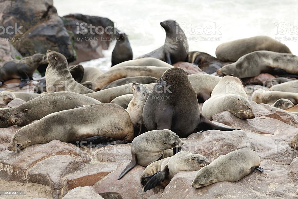 group of seals royalty-free stock photo