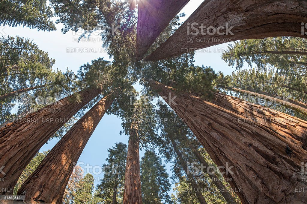 Group of sequoias rising to the sky royalty-free stock photo