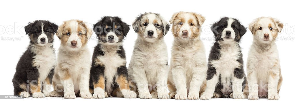 Group of seven Australian Shepherd puppies sitting stock photo