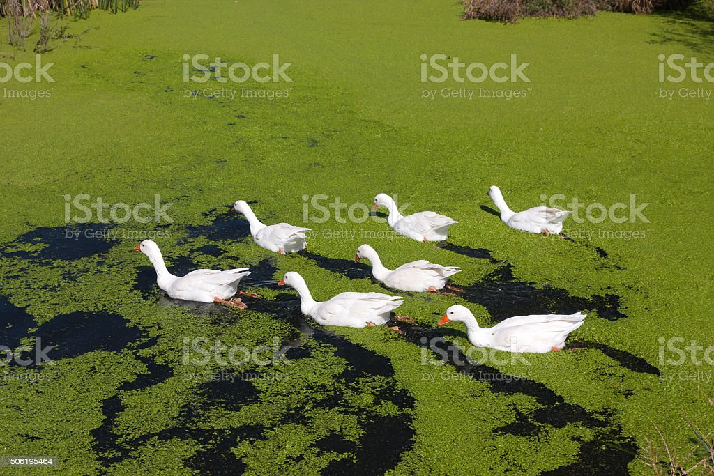 Group of seven geese in the green lake stock photo