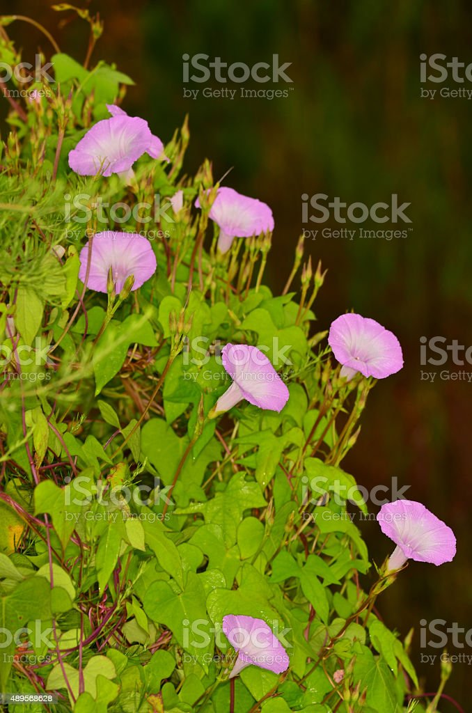 Group of seven pink morning glory flowers and foliage stock photo