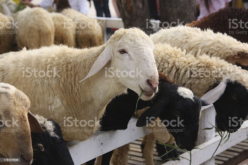 Group of sheep in farm royalty-free stock photo