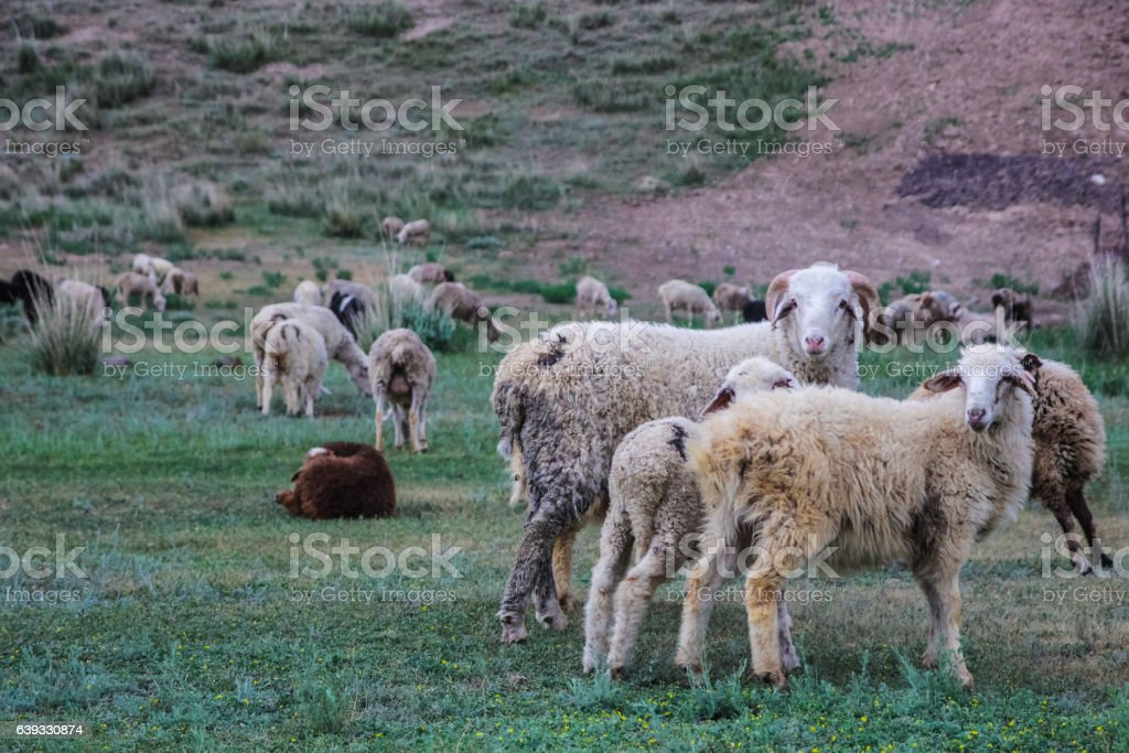 Group of sheep in Kazakhstan. Sheep family in summer stock photo