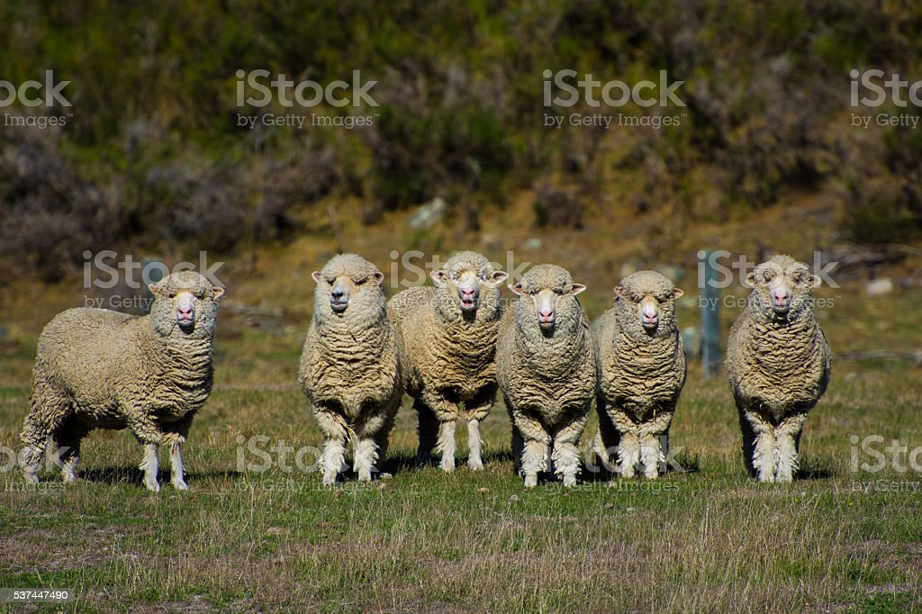 Group of sheep in New Zealand stock photo