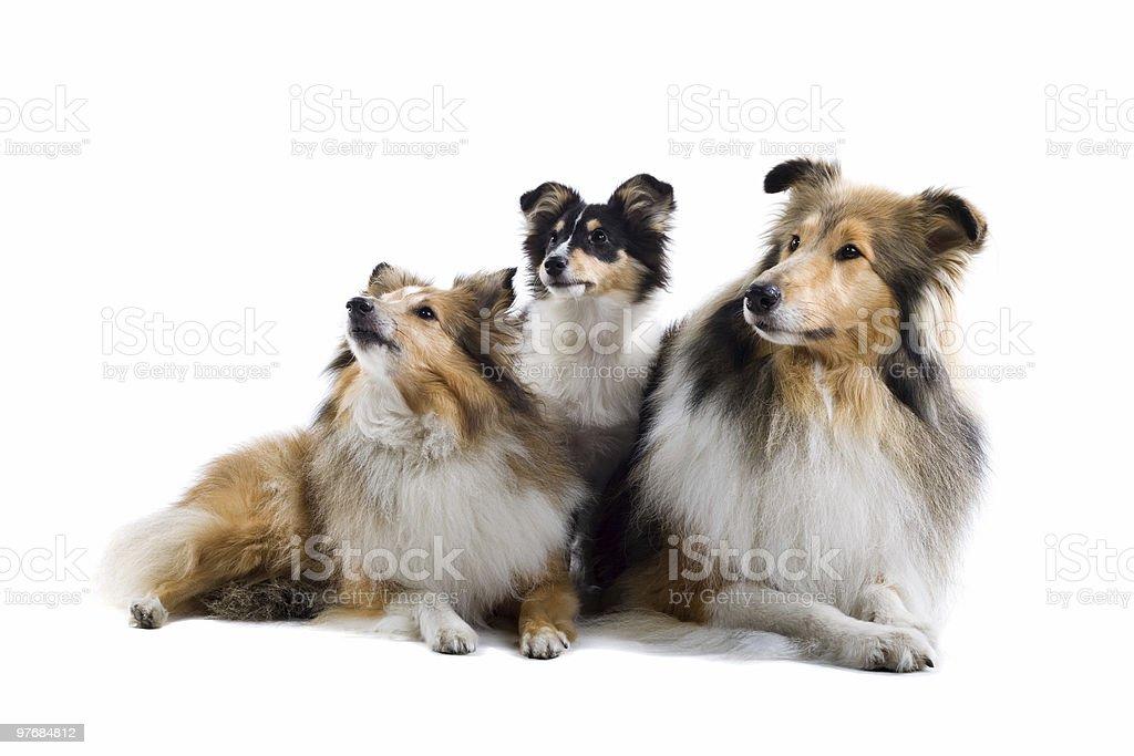 group of shetland sheepdogs royalty-free stock photo