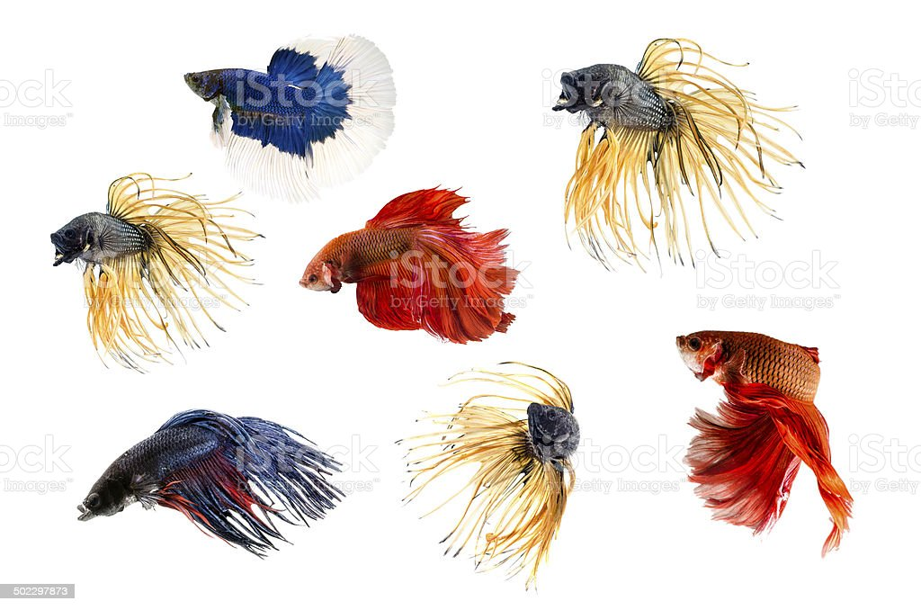 Group of Siamese fighting fish, Beta fish on white background stock photo