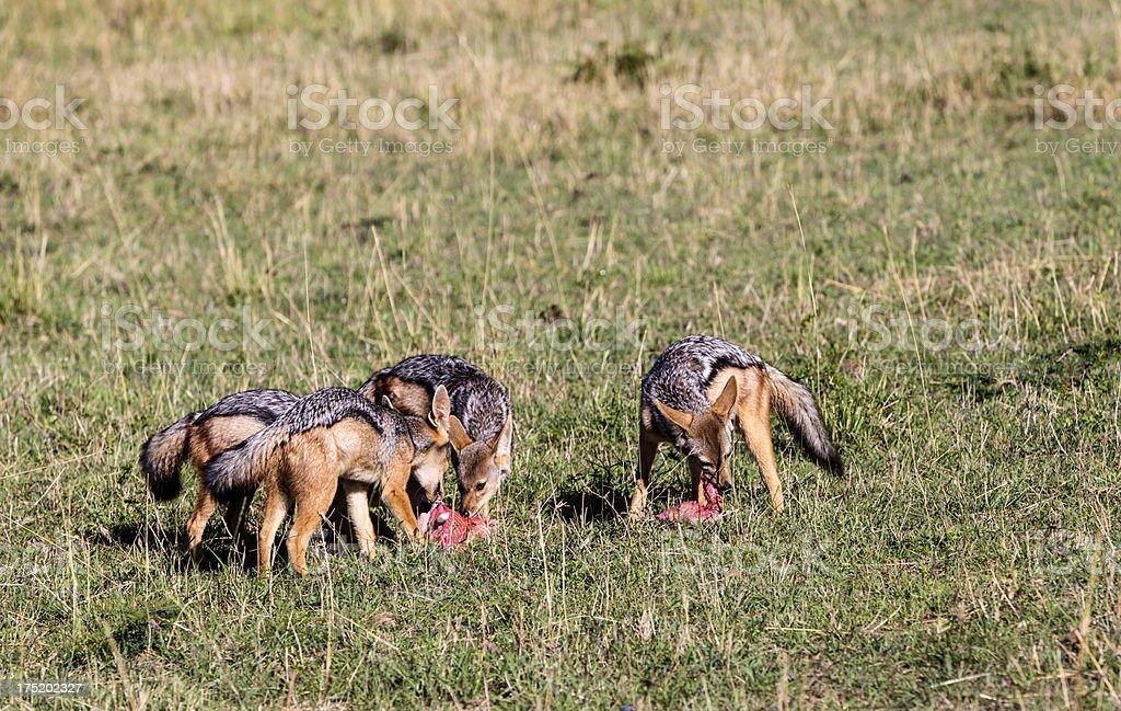 Group of silverbacked jackals eating. Masai Mara, Kenya. royalty-free stock photo