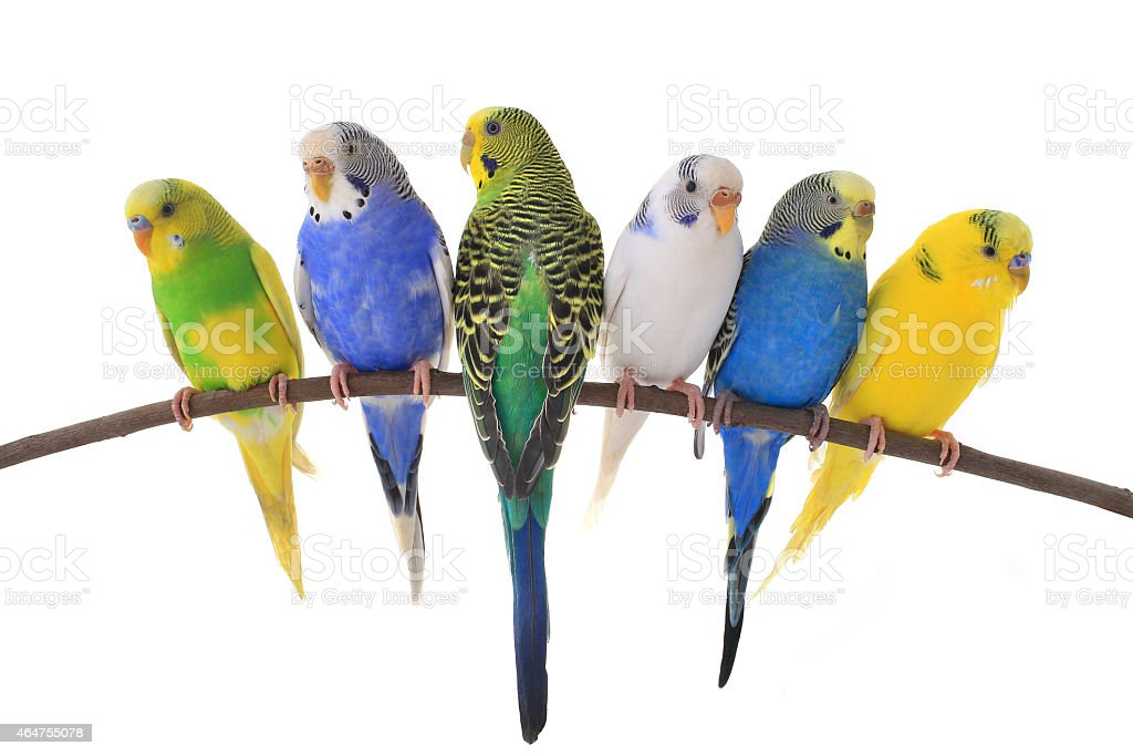 Group of six colorful budgie birds sitting on a tree branch stock photo
