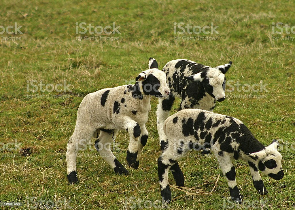 Group of small lambs royalty-free stock photo