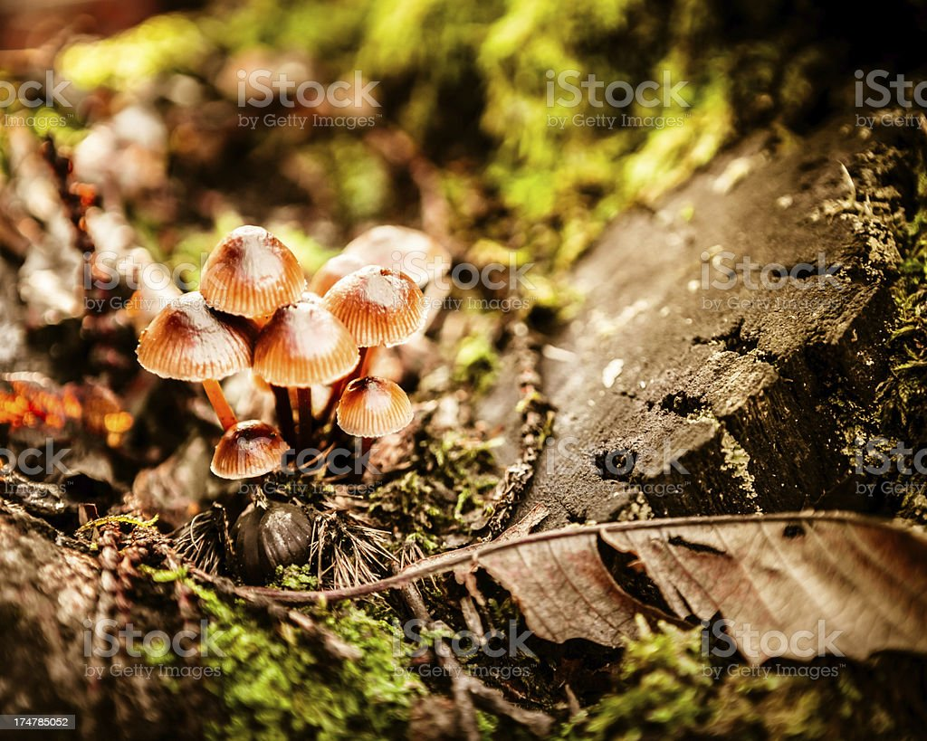 Group of Small Mushrooms in a Magic Forest royalty-free stock photo