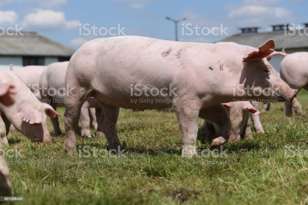 Group of small pigs eating fresh green grass on the meadow stock photo