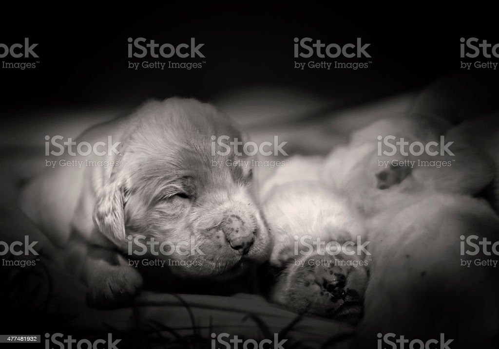 group of small sweet baby puppy sleeps stock photo
