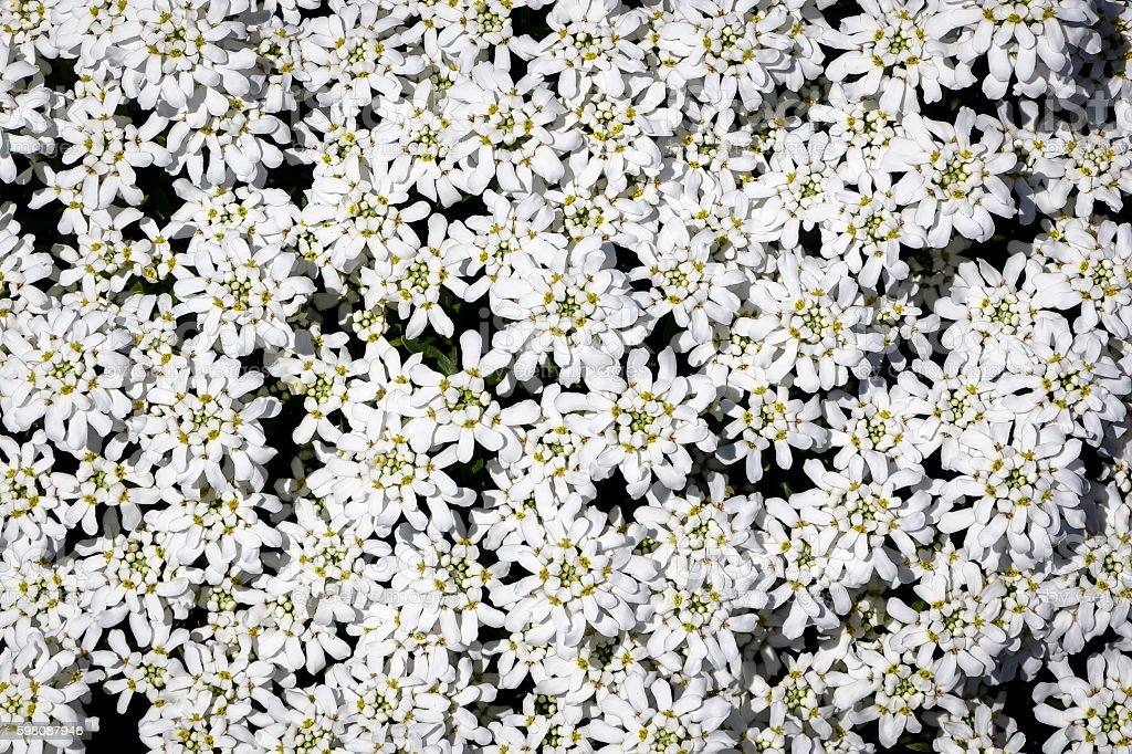 Group of Small White Flowers (Candytuft) stock photo