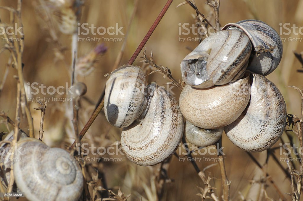 Group of snails estivating, Mountain View, California stock photo