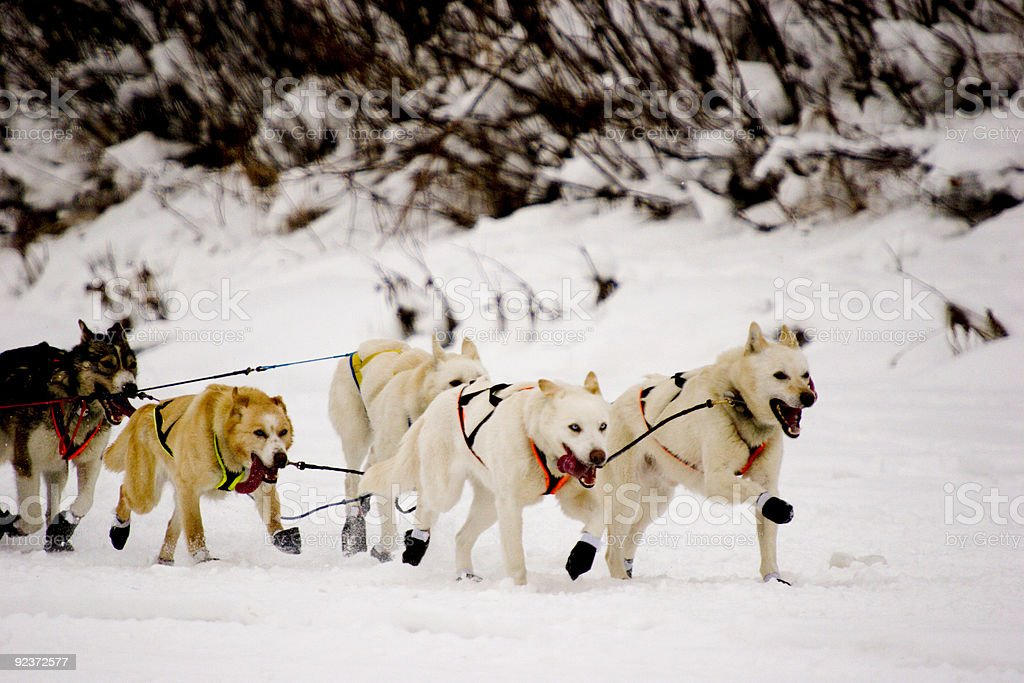 A group of snow dogs pulling a sleigh together stock photo