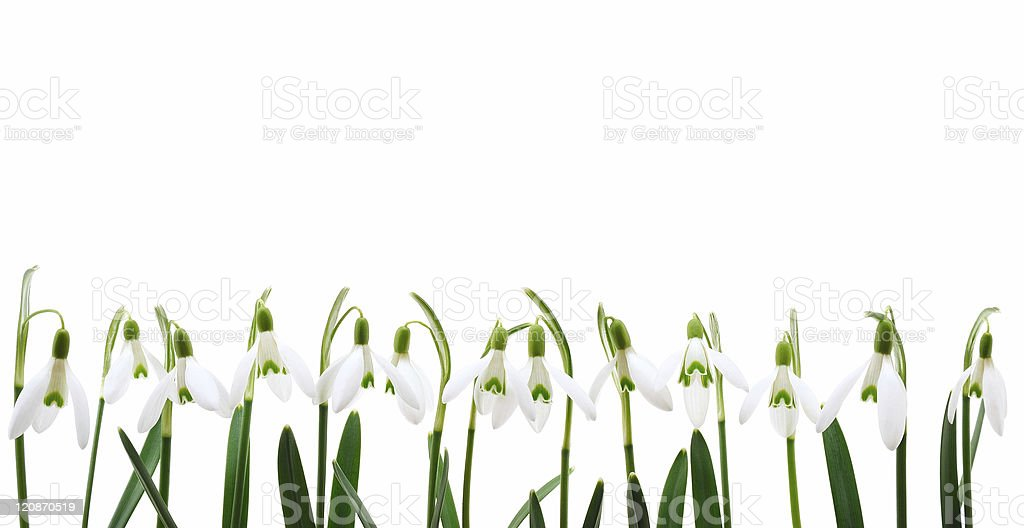 Group of snowdrop flowers  growing in row,  isolated on white stock photo
