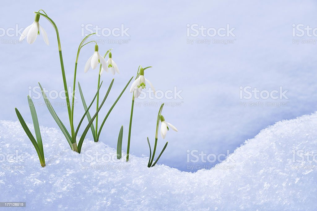 Group of snowdrop flowers  growing in snow stock photo