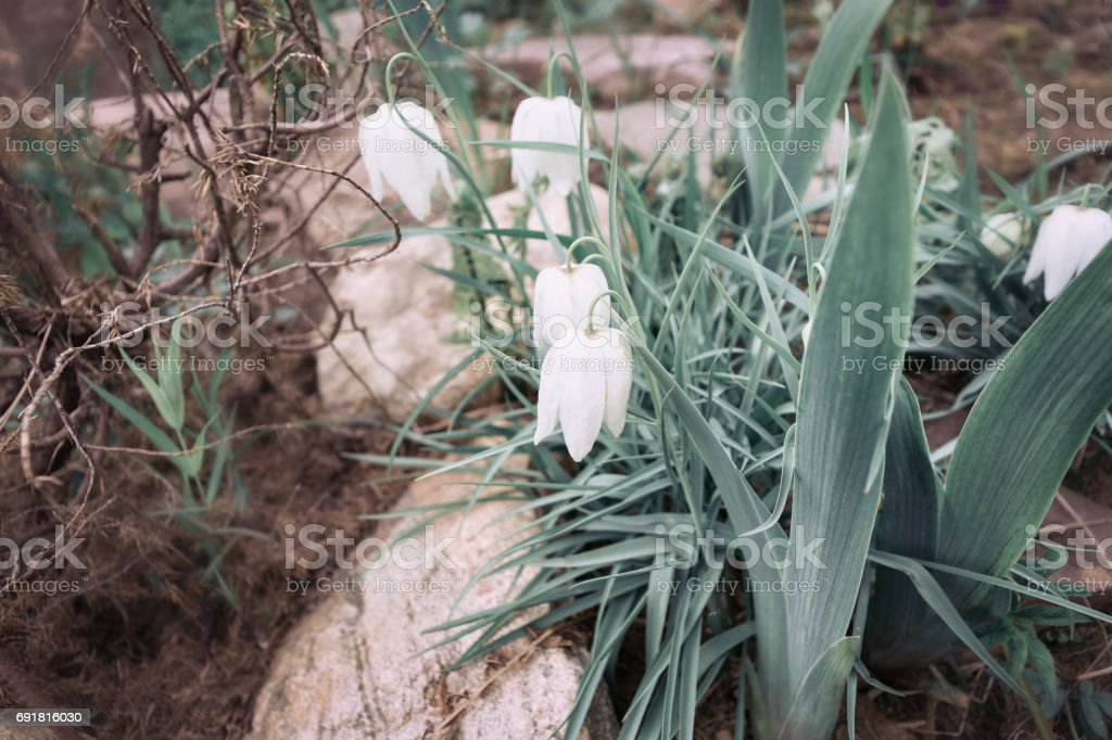 Group of snowdrops in a forest close up stock photo