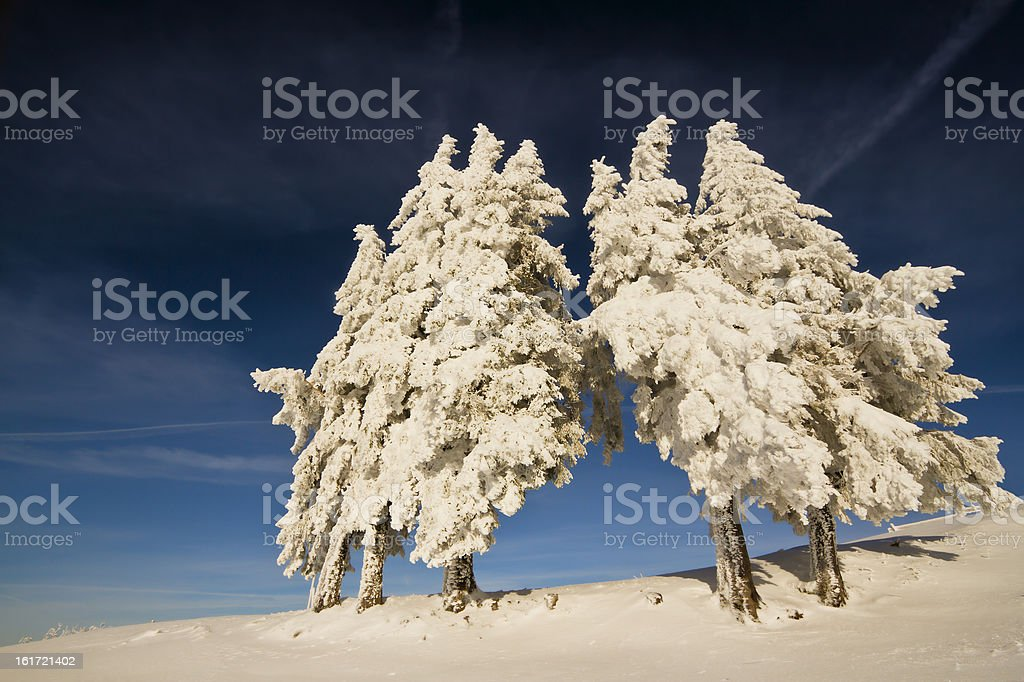 group of snowy fir trees in mountain summit royalty-free stock photo